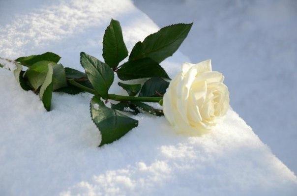 белая роза на снегу