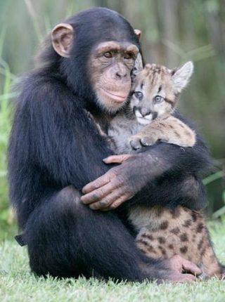 шимпанзе прижимает к себе детеныша леопарда