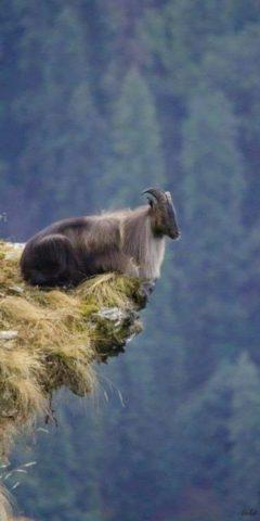 горный козел на краю отвесной скалы