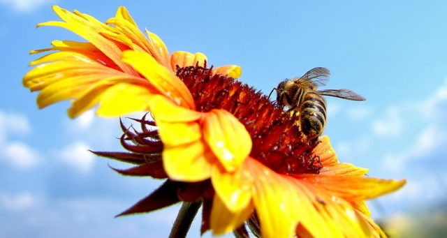 пчела собирает мед с подсолнуха