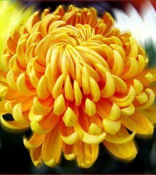 желтый цветок со множеством узких лепестков