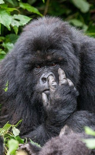 задумчивый примат