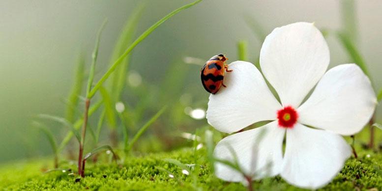 божья коровка на цветке